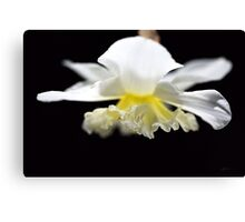 It's Spring Daffodil Canvas Print