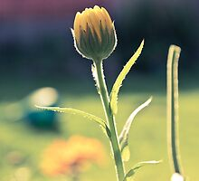 Summer Calendula by Paul-M-W