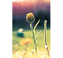 Summer Calendula Photographic Print