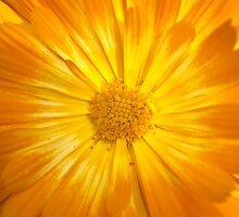 Calendula Burst by Paul-M-W