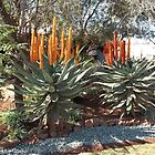 Last Winter's Aloe ferox by Maree  Clarkson