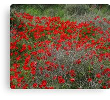 Beautiful Red Wild Anemone Flowers In A Spring Field  Canvas Print
