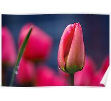 Tulip(s) Poster