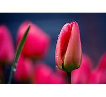 Tulip(s) Photographic Print