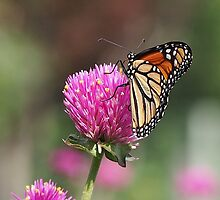 Monarch Butterfly by Paraplu Photography