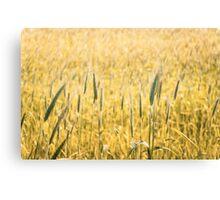Grain field  Canvas Print