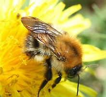 Bumble Bee by Dennis the Elder