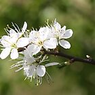 Spring Blossom by Dennis the Elder