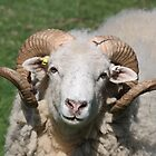 Curious Ram by Dennis the Elder