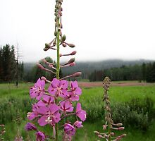 Fireweed by Olga