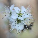 Beautiful Blackthorn Blossom Brockadale by Dennis the Elder