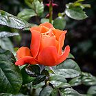 Rose Fellowship bud by 29Breizh33