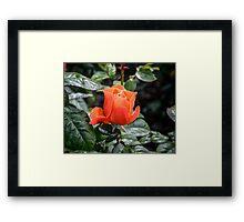 Rose Fellowship bud Framed Print