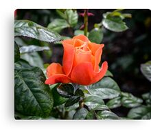 Rose Fellowship bud Canvas Print