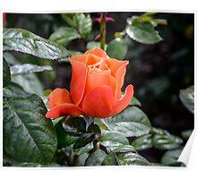 Rose Fellowship bud Poster