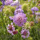 Scabiosa Pincushion Flower by © Kira Bodensted