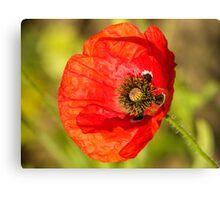 fresh red poppy Canvas Print