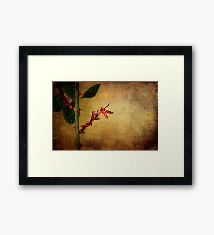 Becomes the Rose Framed Print