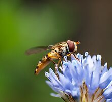 zweefvlieg op blauwe bloem by stresskiller
