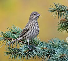Female House Finch by littlecritters