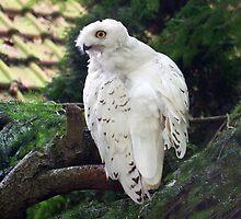 Snowy Owl by Jo Nijenhuis