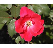 Red Knockout Rose Photographic Print