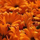Marigold by karina5