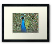 Peacock Strut Framed Print