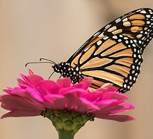 Fall Monarch 2016-4 by Thomas Young