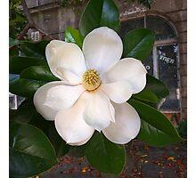 The Magnolia Photographic Print