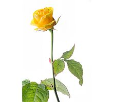 Closeup of Yellow Rose on White Photographic Print