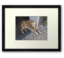 Meet Millie, The Golden Retriever Framed Print