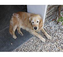 Meet Millie, The Golden Retriever Photographic Print