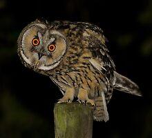 Long-Eared Owl (Asio otus) - V by Peter Wiggerman