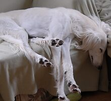Saluki Sleeping by sandyprints