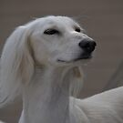 Smiling Saluki by sandyprints