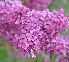 Lilacs by Kathleen Brant