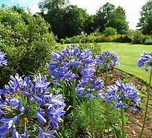 Lilies of the Nile - Beautiful Blue Agapanthus by kathrynsgallery