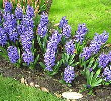 Bed of Blues - Keukenhof Hyacinths by MidnightMelody