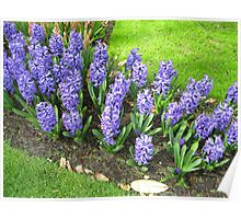 Bed of Blues - Keukenhof Hyacinths Poster