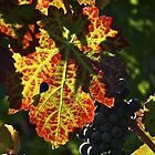 Late Harvest - Napa Valley by rrushton