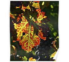 Late Harvest - Napa Valley Poster