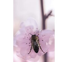 Bumble Blossom Photographic Print