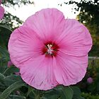 my hibiscus in front yard by little1sandra