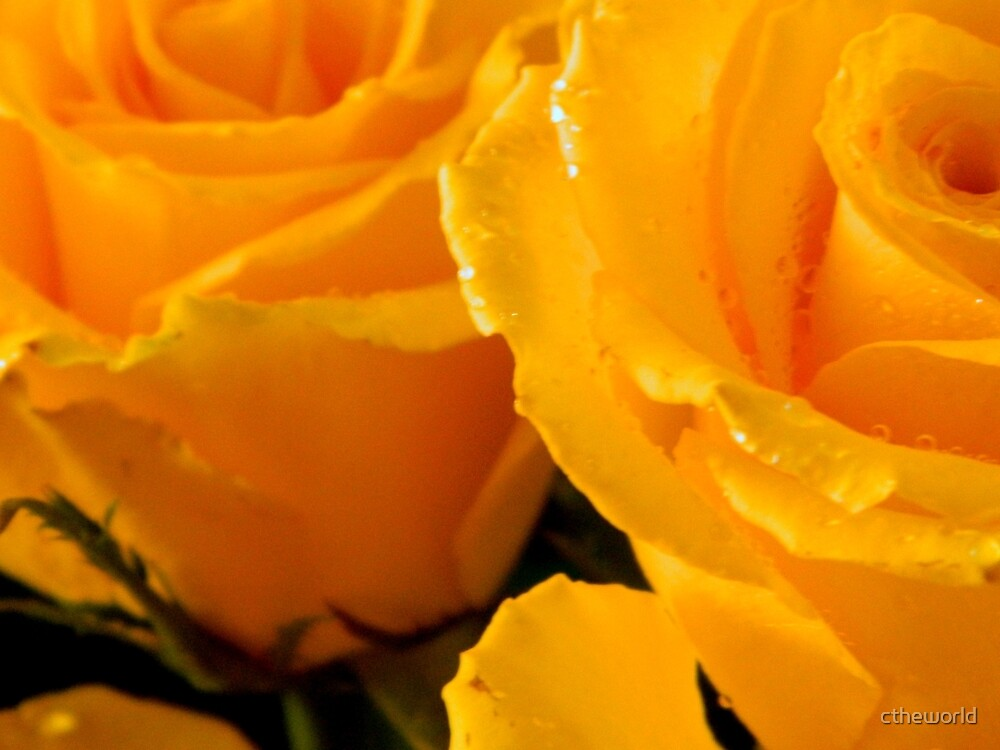 Yellow Roses    ^ by ctheworld