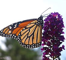 Chasing Monarchs by MarianBendeth