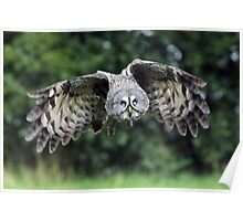 Great Grey Owl Poster