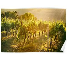 Vineyard rows in Marche, Italy Poster
