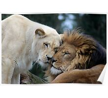 Lions in Love Poster