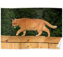 Ginger cat on garden fence Poster